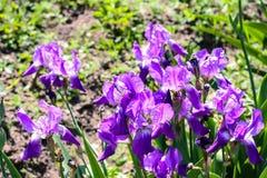Purpura Kwitnie w s?o?cu zdjęcia stock