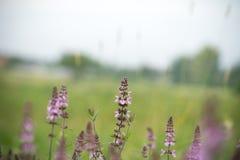 Purpura kwitnie w trawie Obrazy Royalty Free