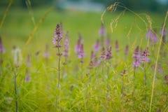 Purpura kwitnie w trawie Obraz Stock