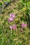 Purpura kwitnie w trawie Zdjęcia Royalty Free