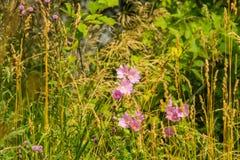 Purpura kwitnie w trawie Zdjęcie Royalty Free