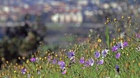 Purpura kwitnie w wzgórzu blisko miasta zdjęcia royalty free
