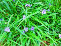 Purpura kwitnie w zielonej trawie Zdjęcia Royalty Free