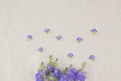 Purpura kwitnie wianek Duranta erecta L obraz royalty free