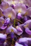 Purpura kwitnie z aluzją żółty dorośnięcie w Niemcy fotografia royalty free