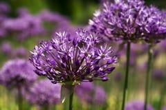 Purpura kwitnie zakończenie Obrazy Royalty Free