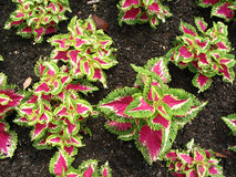 purpura leaved växter Royaltyfri Foto