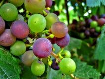 Purpura och gröna druvor Arkivfoton
