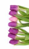 Purpura och rosa tulpan i en rad Arkivbilder