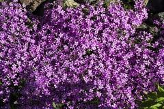Purpura ogród kwitnie odwiecznie obrieta zdjęcia stock
