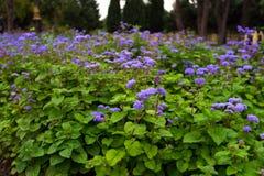 Purpura ogródu kwiaty Obraz Royalty Free