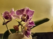 purpura orchids Royaltyfri Foto