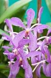 Purpura Orchids Royaltyfria Foton
