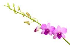 Purpura orchids. Royaltyfria Bilder