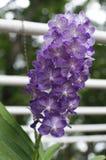purpura orchids Arkivbild