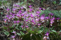 purpura orchids Arkivbilder