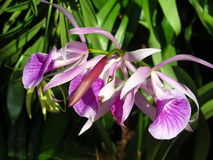 purpura orchids Royaltyfri Bild