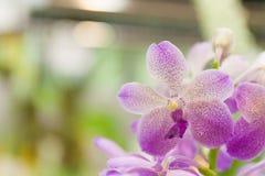 purpura orchids Arkivfoto
