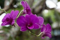 purpura orchids Royaltyfri Bild