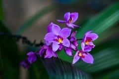 purpura orchids Arkivfoton