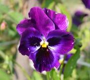 Purpura pączek pansy kwiat Obrazy Stock