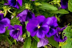 purpura pansies Arkivfoton