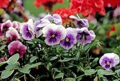 purpura pansies Royaltyfri Foto