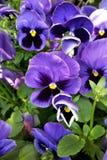 purpura pansies Arkivfoto