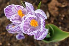 Purpura Pasiasty krokus Zdjęcie Royalty Free