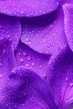 purpura petals Royaltyfri Foto