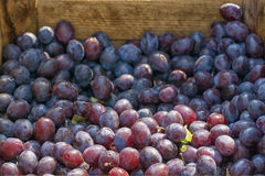 purpura plommoner Royaltyfria Bilder