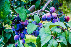 purpura plommoner Arkivbilder