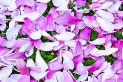 Purpura różowi płatki Magnoliowy kwiat Obrazy Royalty Free