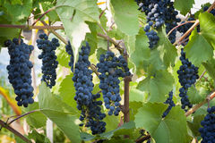 Purpura röda druvor med gröna leaves arkivfoto