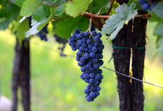 Purpura röda druvor med gröna leaves Royaltyfri Foto