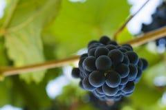 Purpura röda druvor med gröna leaves på vinen royaltyfri fotografi