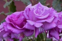 purpura ro Arkivfoto