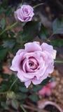 purpura ro Royaltyfri Foto
