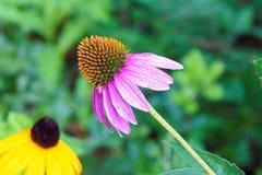 Purpura rożka kwiat Obrazy Royalty Free