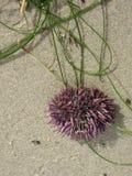 Purpura spined denny czesak na plaży Obrazy Royalty Free