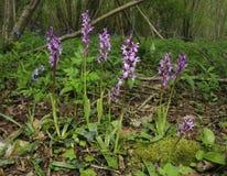 purpura tidiga orchids Royaltyfri Bild