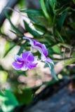 purpura trädgårds- orchids Den härliga våren blommar med mjukt G Royaltyfri Fotografi