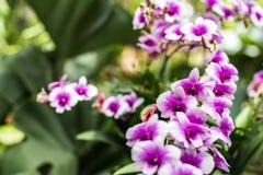 purpura trädgårds- orchids Den härliga våren blommar med mjukt G Arkivfoton