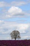 purpura treetulpan för fält Royaltyfri Foto