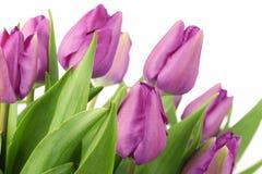 purpura tulpan Royaltyfri Fotografi
