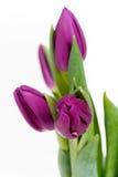 purpura tulpan Royaltyfria Bilder