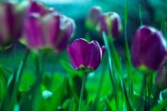 purpura tulpan Arkivfoton