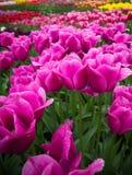 Purpura tulpan i fält Royaltyfria Bilder