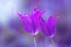 purpura tulpan Mycket härlig färgtoning Två tulpan på en härlig bakgrund slapp fokus Fotografering för Bildbyråer