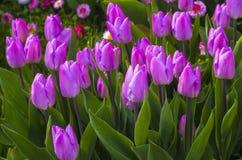 purpura tulpan skyen för showen för växter för rörelse för den förfallna för fältet för blueoklarhetsdagen ligganden för fokusen  Arkivbilder